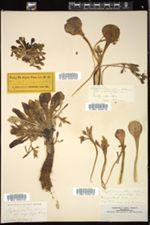 Image of Claytonia arctica