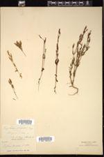 Image of Erythraea nuttallii