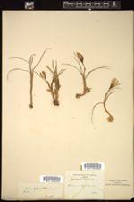 Image of Crocus biflorus