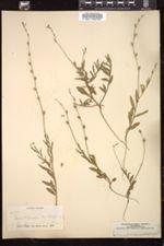 Image of Oenothera hexandra