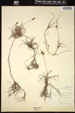 Carex mucronata image