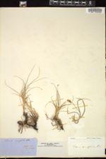 Image of Carex ammophila