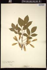 Image of Fraxinus platycarpa