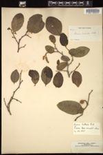 Image of Annona bullata
