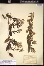 Image of Archibaccharis hirtella