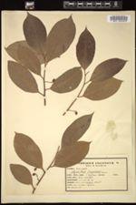 Myristica fragrans image