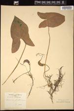 Image of Arisarum proboscideum