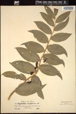 Polygonatum multiflorum image