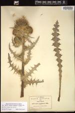 Image of Cirsium jorullense