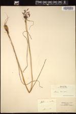 Allium carinatum image