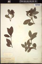 Image of Illicium parvifolium