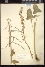 Image of Caulanthus hastatus