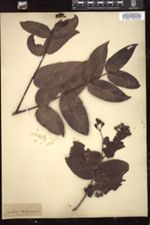 Syzygium malaccense image