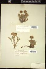 Image of Chaenactis achilleifolia