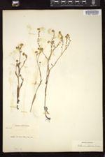 Allocarya orientalis image