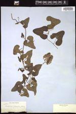 Image of Aristolochia glandulosa