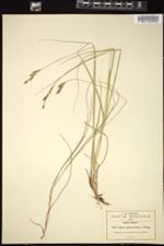 Image of Carex anisostachys