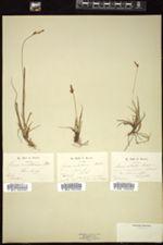 Carex ericetorum image