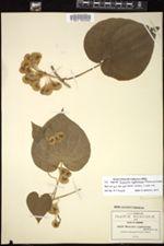 Dioscorea cyphocarpa image