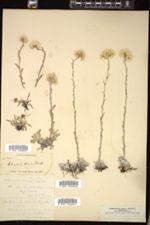 Antennaria dioica image