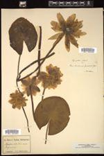 Nymphaea alba image