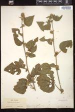 Malvastrum americanum image