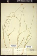 Carex brizoides image