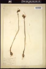 Allium flavum image
