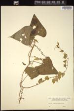 Image of Dioscorea matagalpensis
