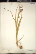 Gladiolus illyricus image