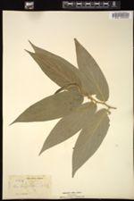 Image of Piper angustifolium