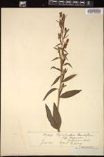 Image of Cephalanthera grandiflora