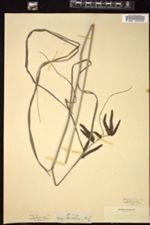 Image of Carex arnottiana