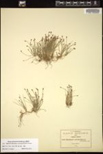 Eleocharis bonariensis image