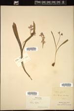 Scilla bifolia image