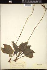 Image of Ponthieva petiolata