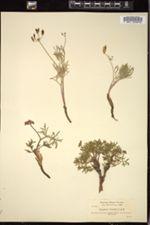 Image of Cogswellia cusickii