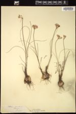 Image of Allium moschatum
