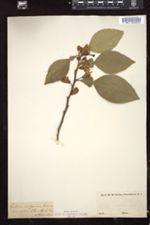 Citrus × aurantium image