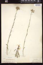 Physaria engelmannii image