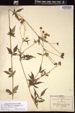 Image of Bidens rosea