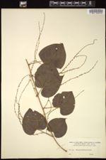 Image of Dioscorea meridensis
