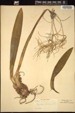 Image of Pancratium caribaeum