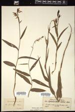 Cephalanthera rubra image