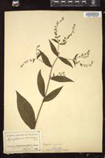 Image of Cynoglossum morisonii