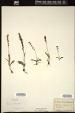 Herminium monorchis image
