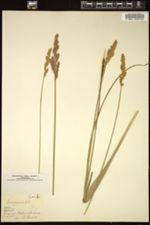 Carex paniculata image