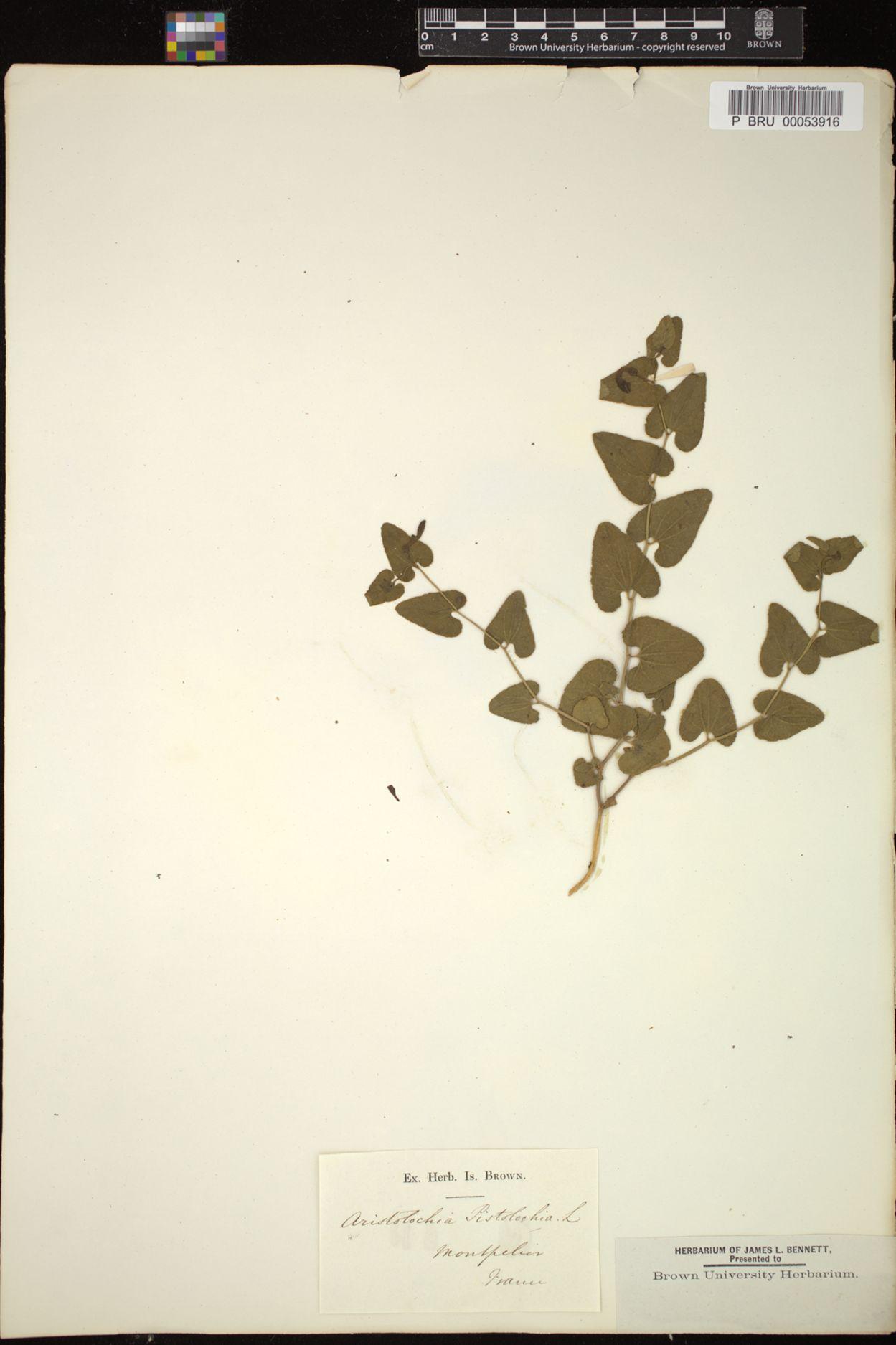 Aristolochia pistolochia image