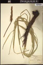 Image of Schoenocaulon tenuifolium