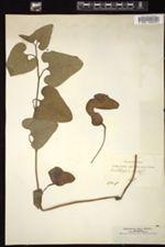 Aristolochia hirta image